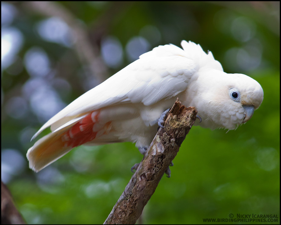 endangered species in the philippines Rainforest trust - species | communities | planet  critical habitat created in the philippines, safeguards endemic, threatened species such as.