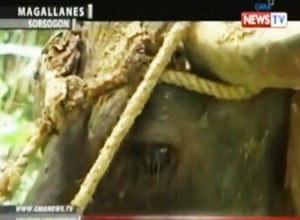 WATCH: 11-year-old killed after being dragged by Carabao in Bulacan