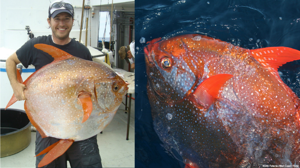 Scientists announce first known warm blooded fish for Warm blooded fish