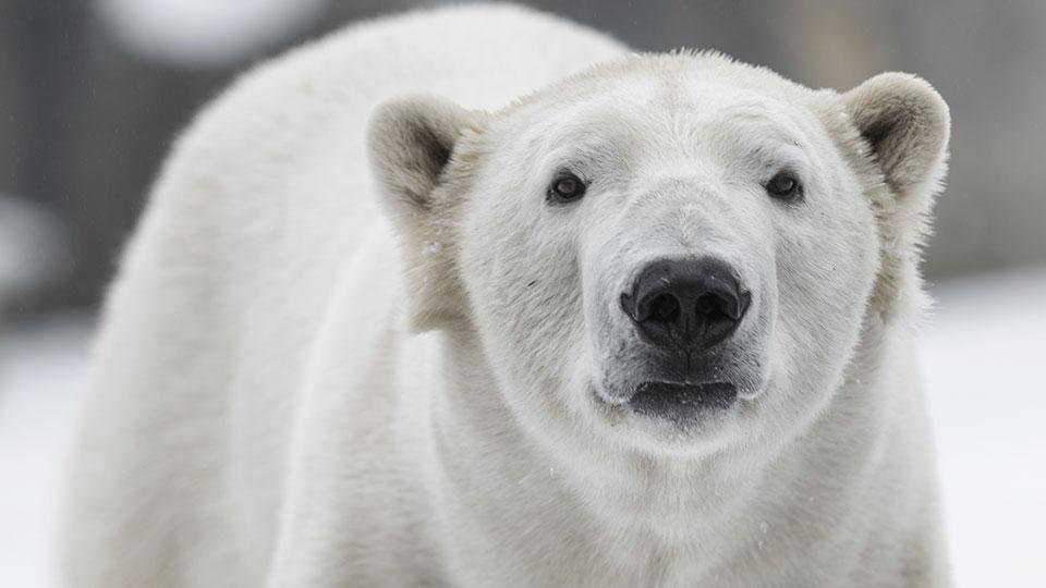 Polar Bears Diet Polar Bears Develop Taste For