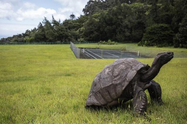 Jonathan, a Seychelles giant tortoise, believed to be the oldest reptile living on earth with and alleged age of 185 years, crawls through the lawn of the Plantation House, the United Kingdom Governor official residence on October 20, 2017 in Saint Helena, a British Overseas Territory in the South Atlantic Ocean. GIANLUIGI GUERCIA/AFP