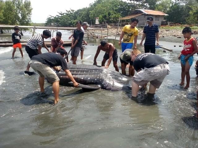 Whale shark found dead in Tagum City on August 7, 2018 PHOTO BY DARREL BLATCHLEY