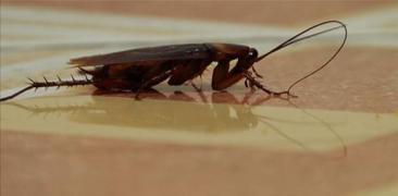 Pinoy MD - Ipis/cockroach