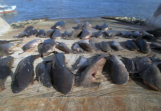 shark finnings should be banned This will of course allow for shark fins taken in costa rican waters to be  signed  a presidential decree that bans the practice of shark finning,.