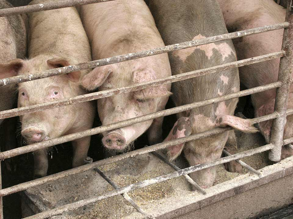 Pigs Hogs Pork Farm Agriculture Economy Prices Commodities Food Market 483655955