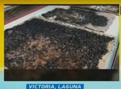 Pesteng langaw sa Victoria, Laguna