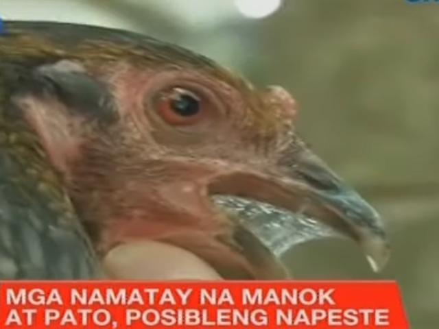 Fowl deaths Pangasinan