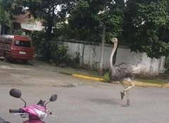 Ostrich in QC