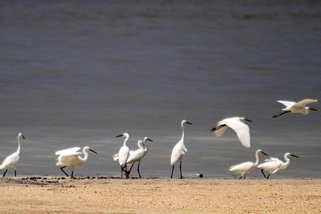 Egrets drop by Manila Bay during 'White Sands' project opening