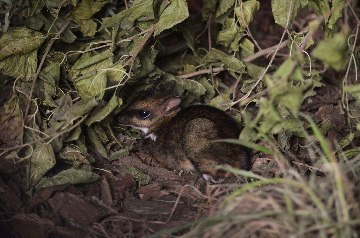Philippine mouse deer born in Poland zoo