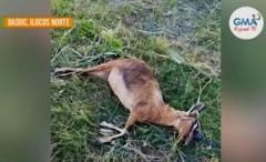 kambing dead
