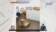 Fur mom, nagpanggap na tigre para i-prank ang mga alagang aso